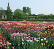 Field Of Tulips, Hortus Bulborum Hortus Bulborum Limmen, NL