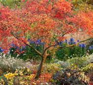 Acer Palmatum, Aureum, Japanese Maple, Orange Leaves, Tree Garden Design Calimesa, CA