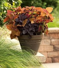 Coleus Container Combination, Colorblaze Sedona, Colorblaze Dipt In Wine, Colorblaze Dark Star Proven Winners Sycamore, IL