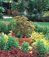 Beau Coleus Garden, Coleus Planting Atlock Farm Somerset, NJ