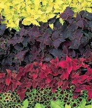 Green Coleus, Red Coleus, Purple Coleus Garden Design Calimesa, CA
