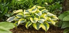 Hosta Autumn Frost, Shade Plant, Variegated Foliage A Rustic Perennial Paradise Proven Winners Sycamore, IL