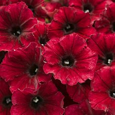 Supertunia, Black Cherry, Petunia Proven Winners Sycamore, IL