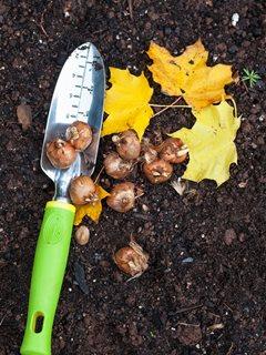 """Plantación de bulbos de otoño""""Equipo de ensueño"""" Portland Garden Alamy Foto de stock Brooklyn, NY"""