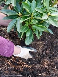 """Siembra de otoño, plantación de arbustos, rododendro""""Equipo de ensueño"""" Portland Garden Alamy Foto de stock Brooklyn, NY"""