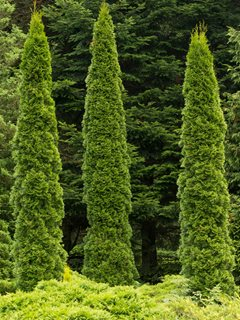 Arborvitae Trees, Evergreen Dreamstime ,