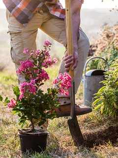 Crape Myrtle, Planting, Shovel Alamy Stock Photo Brooklyn, NY