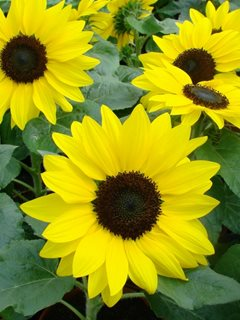 Dwarf Sunflower, Suntastic Yellow All-America Selections Downers Grove, IL