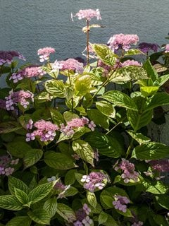 Mountain Hydrangea, Hydrangea Serrata, Pink Flower Alamy Stock Photo Brooklyn, NY