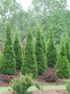 Arborvitae Trees Types Care Garden Design