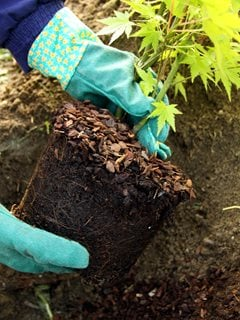 Planting Japanese Maple Dreamstime ,