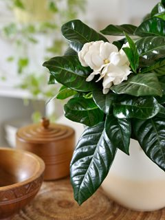 Potted Gardenia, Gardenia Houseplant Alamy Stock Photo Brooklyn, NY