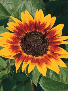 Ring Of Fire Sunflower, Bicolor Sunflower All-America Selections Downers Grove, IL