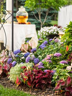 Summer Garden, Hydrangeas, Summer Party Proven Winners Sycamore, IL