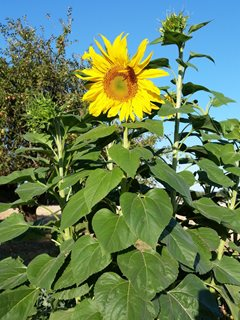 Giant Sunflower, Mammoth Sunflower Dreamstime