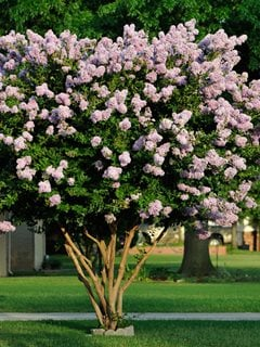 Lagerstroemia Indica, Crape Myrtle, Flowering Tree Alamy Stock Photo Brooklyn, NY