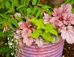 Pink Plant Container Container Garden Pictures Suzinn Weiss Portland, OR