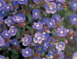 Creeping Speedwell, Veronica I Love This Plant Garden Design Calimesa, CA