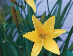 Dumortiers Daylily, Hemerocallis Dumortieri I Love This Plant Garden Design Calimesa, CA