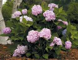 Endless Summer Hydrangea, Pink Blooms I Love This Plant Garden Design Calimesa, CA