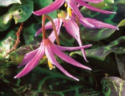Fawn Lily, Woodland Flower I Love This Plant Garden Design Calimesa, CA
