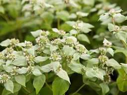 <em>Pycnanthemum muticum</em> (Mountain Mint)