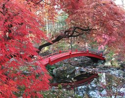 Japanese Maple - Photo by: Jan Johnsen.