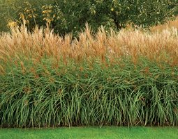 Ornamental Grass Marchants Hardy Plants Laughton, E. Sussex