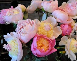 Peonies and Garden Roses Garden Design Calimesa, CA