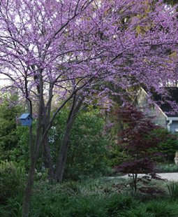 Redbud - Photo by: Anna Brooks.