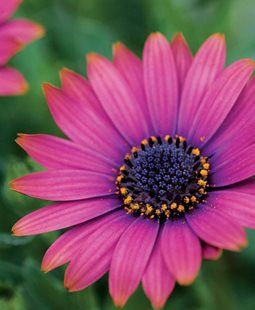 Osteospermum Summertime Series Flower Dummen Group ,