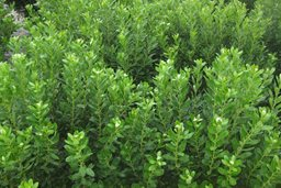 COMPACTA INKBERRY HOLLY