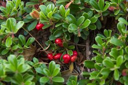 MASSACHUSETTS BEARBERRY