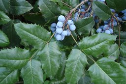 OREGON GRAPE HOLLY