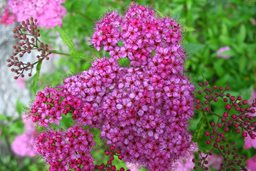 14 best flowering shrubs garden design anthony waterer spirea mightylinksfo