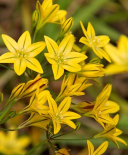 Pretty face (<em>Triteleia ixioides</em> 'Starlight')