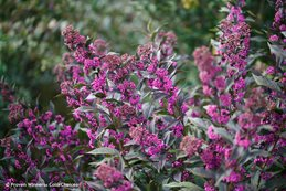 Pearl Glam Beautyberry, Callicarpa Pearl Glam Proven Winners Sycamore, IL