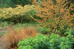 Loughrey_hamamelis_intermedia_orange_beauty_h._mollis_pallida Garden Design Calimesa, CA