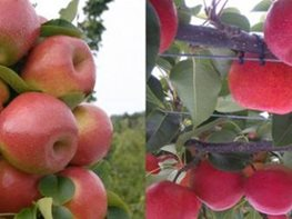 "Apples ""Dream Team's"" Portland Garden Garden Design Calimesa, CA"