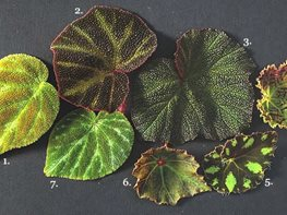 "Begonias ""Dream Team's"" Portland Garden Garden Design Calimesa, CA"