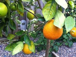 "Orange ""Dream Team's"" Portland Garden Garden Design Calimesa, CA"