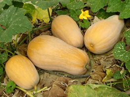 "Squash_0 ""Dream Team's"" Portland Garden Garden Design Calimesa, CA"