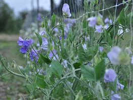 Growing and Arranging Sweet Peas Garden Design Calimesa, CA