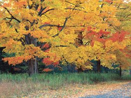 Fall Foliage, Sugar Maple Tree Garden Design Calimesa, CA