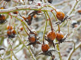 Frozen Seed Pods, Winter Garden Garden Design Calimesa, CA