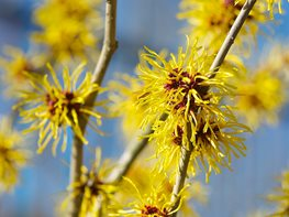 Yellow Blooms, Witch Hazel Garden Design Calimesa, CA