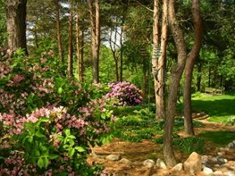 Blooming Azeleas, Pine Trees Trunks Hugh Stephens ,