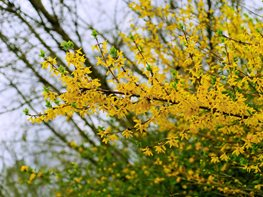 Forsythia Bush, Forsythia Blooming Creative Commons ,