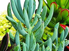 Senecio  Great Garden Plants ,