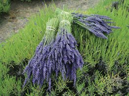 Lavender Bundles, Drying Lavender St. Lynn's Press Pittsburgh, PA